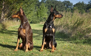 Picture black, pair, brown, Dobermans, Tampa-family-lawyer