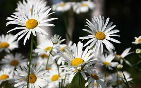 Picture flowers, petals, Daisy, white, flowering