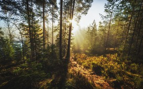 Wallpaper The sun, trees, Forest