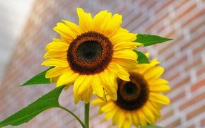 Wallpaper Flower, Yellow, Sunflower