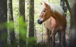 Picture forest, summer, eyes, look, face, leaves, trees, nature, horse, trunks, horse, horses, horse, red, handsome, …