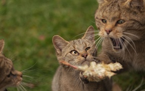 Picture cat, kittens, wild cat, forest cat