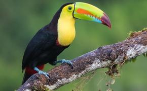 Picture birds, Toucan, iridescent Toucan