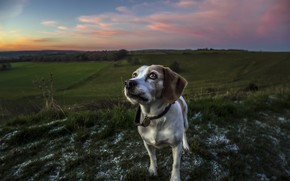 Picture field, look, dog