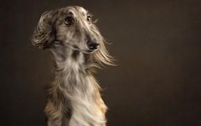 Wallpaper background, dog, eyes, look, portrait