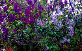 Picture purple, leaves, lilac, greens, varieties