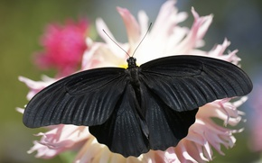 Picture summer, background, butterfly, black