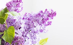 Picture flowers, flowering, lilac