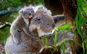 Wallpaper leaves, branches, trees, Koala, nature, cub, animals