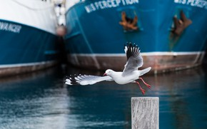 Picture bird, ships, Seagull, port