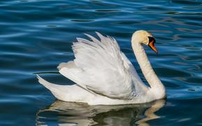 Picture water, bird, beak, Swan, neck
