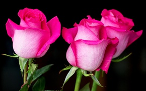 Picture pink, roses, Bud