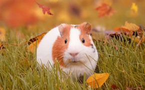 Picture autumn, grass, leaves, Guinea pig