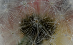 Picture nature, dandelion, drop, blade of grass