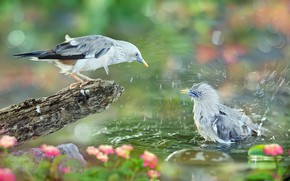 Picture water, squirt, birds, nature, bathing, bokeh