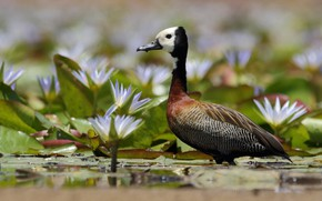 Picture flowers, bird, Duck, water lilies