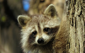 Picture look, muzzle, raccoon