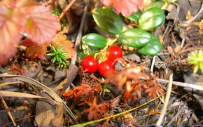 Picture greens, plants, cloudberry, tundra