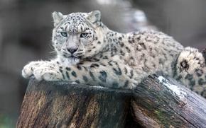 Picture predator, lies, snow leopard, resting, logs, bokeh, IRBIS