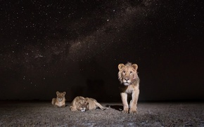 Picture Zambia, African Wildlife, Lions at Night