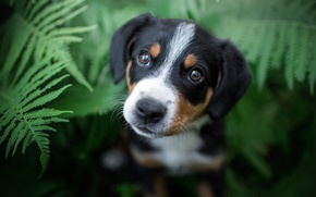 Picture summer, eyes, look, black, portrait, dog, muzzle, puppy, fern