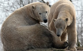 Picture family, pair, polar, bears