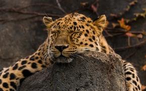 Picture face, stay, sleep, predator, lies, wild cat, the Amur leopard