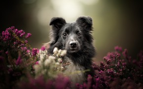Picture look, face, background, portrait, dog, bokeh, Heather