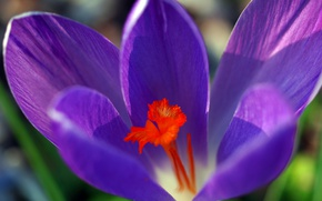 Picture flower, spring, petals, Krokus