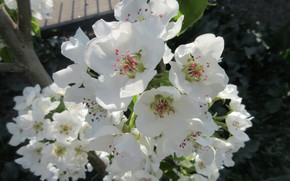 Picture pear, inflorescence, April, spring 2018, Meduzanol ©