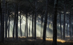 Picture forest, trees, the sun's rays