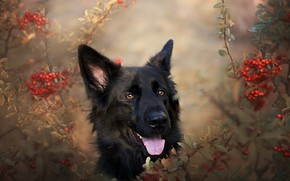 Wallpaper each, German shepherd, nature, dog