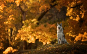 Wallpaper dog, bokeh, autumn, Husky