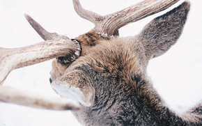 Picture winter, forest, animals, snow, deer, horns, winter, snow, animal, reindeer