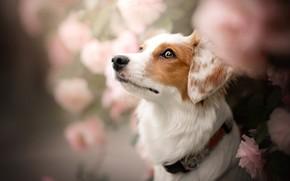 Picture face, flowers, rose, portrait, dog, collar, bokeh, Kooikerhondje
