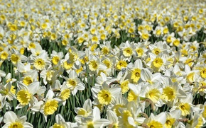 Picture flowers, nature, daffodils