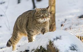 Picture look, snow, wild cat