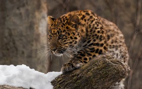 Picture predator, leopard, cub, wild cat, zoo, far East, Amur