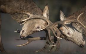 Picture horns, deer, fight