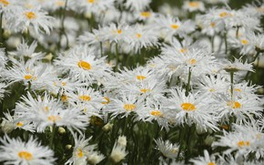 Picture petals, Daisy, flowering