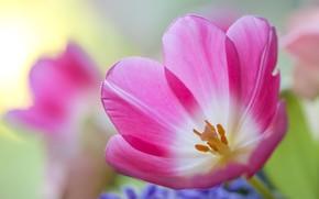 Picture macro, Tulip, petals, bokeh
