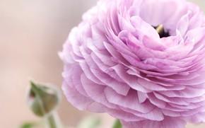 Picture macro, flowers, Ranunculus, Asian, Buttercup