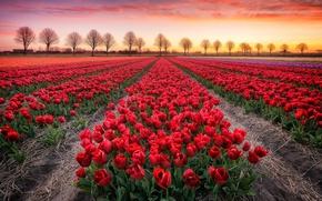 Wallpaper sunset, tulips, field, trees