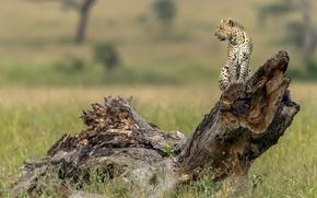 Picture tree, leopard, profile, snag