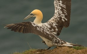 Picture rock, bird, wings, the Northern Gannet