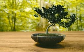 Picture bonsai, blur, Japan, tree