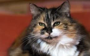 Picture Cat, Face, Pet