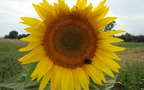Picture the sun, bee, sunflower, delty