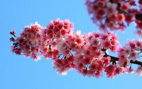 Picture flowers, tree, pink, spring, flowering tree, twigs