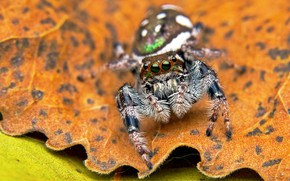 Picture eyes, macro, background, leaf, spider, spot, jumper, the Hoppy